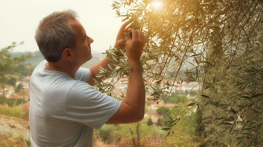 Man picking olives in a vineyard